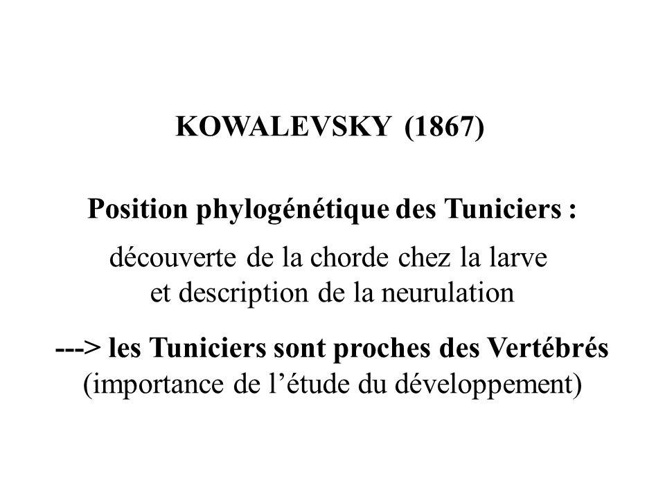 Position phylogénétique des Tuniciers :