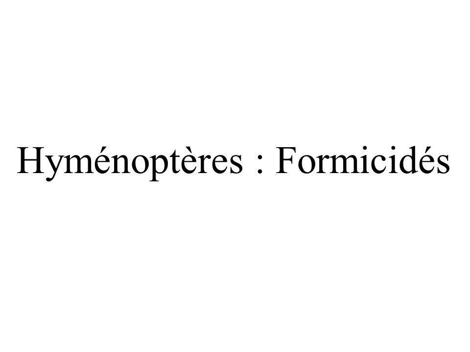 Hyménoptères : Formicidés