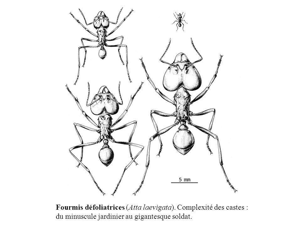 Fourmis défoliatrices (Atta laevigata). Complexité des castes :