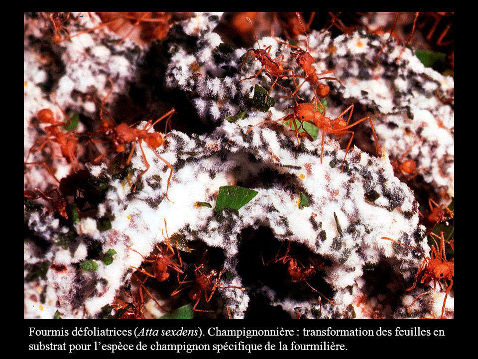 Fourmis défoliatrices (Atta sexdens)