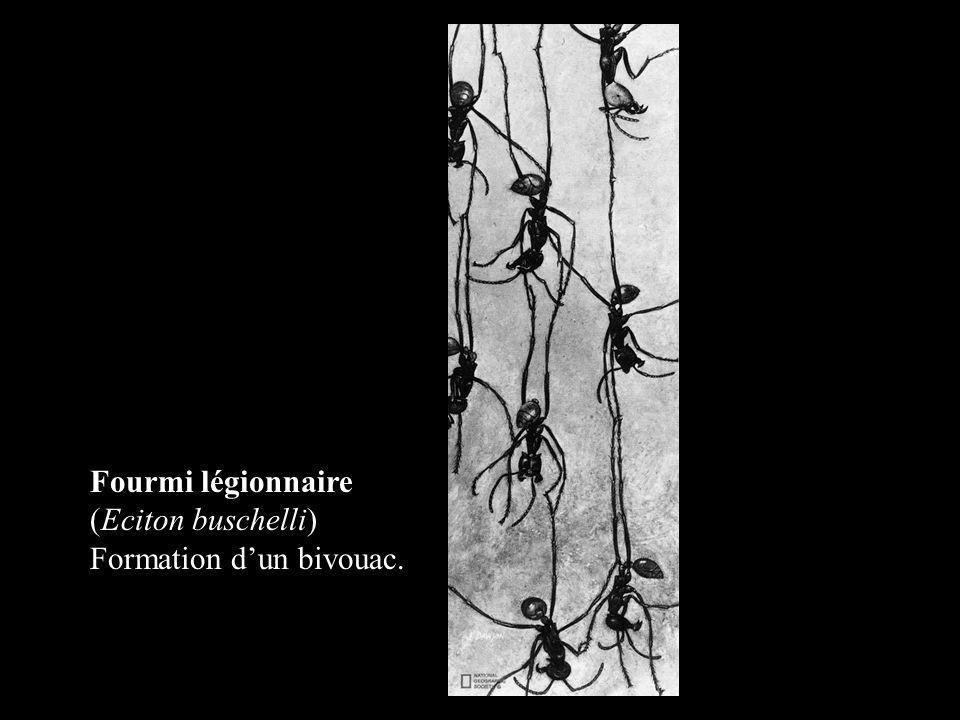 Fourmi légionnaire (Eciton buschelli) Formation d'un bivouac.