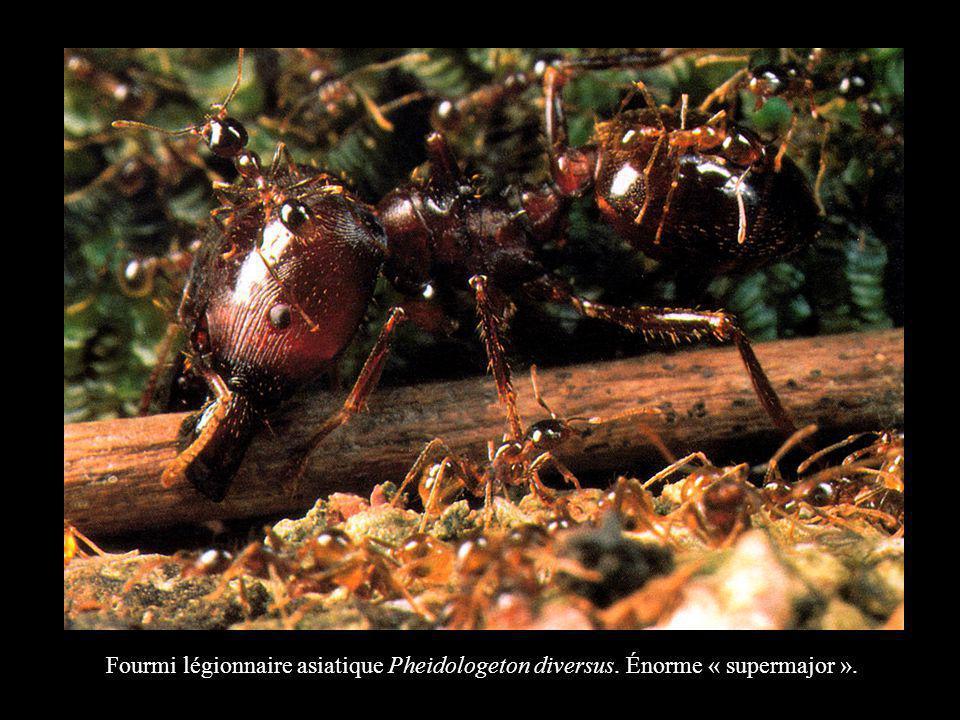 Fourmi légionnaire asiatique Pheidologeton diversus