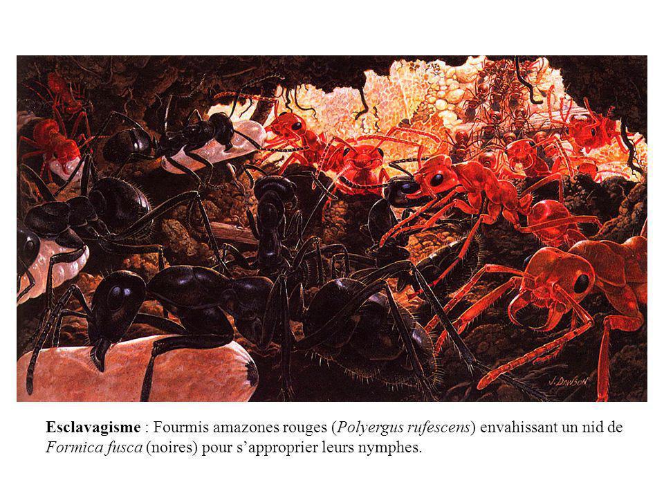 Esclavagisme : Fourmis amazones rouges (Polyergus rufescens) envahissant un nid de
