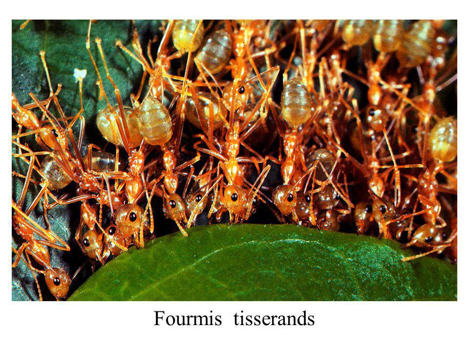 Fourmis tisserands