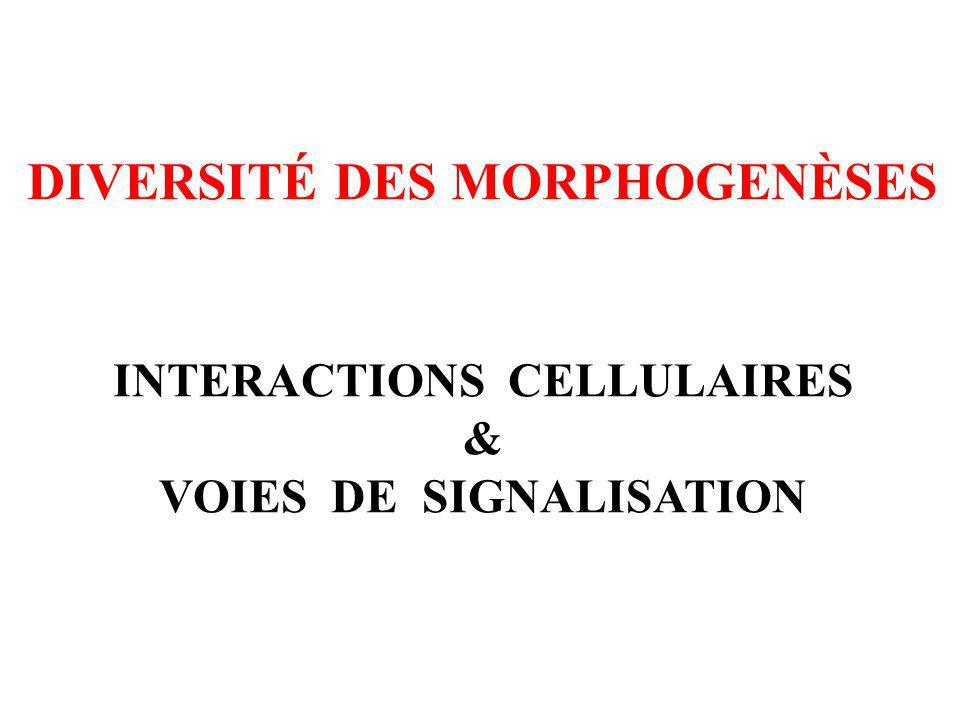 INTERACTIONS CELLULAIRES VOIES DE SIGNALISATION