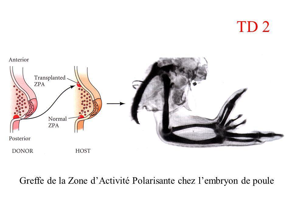 TD 2 Greffe de la Zone d'Activité Polarisante chez l'embryon de poule