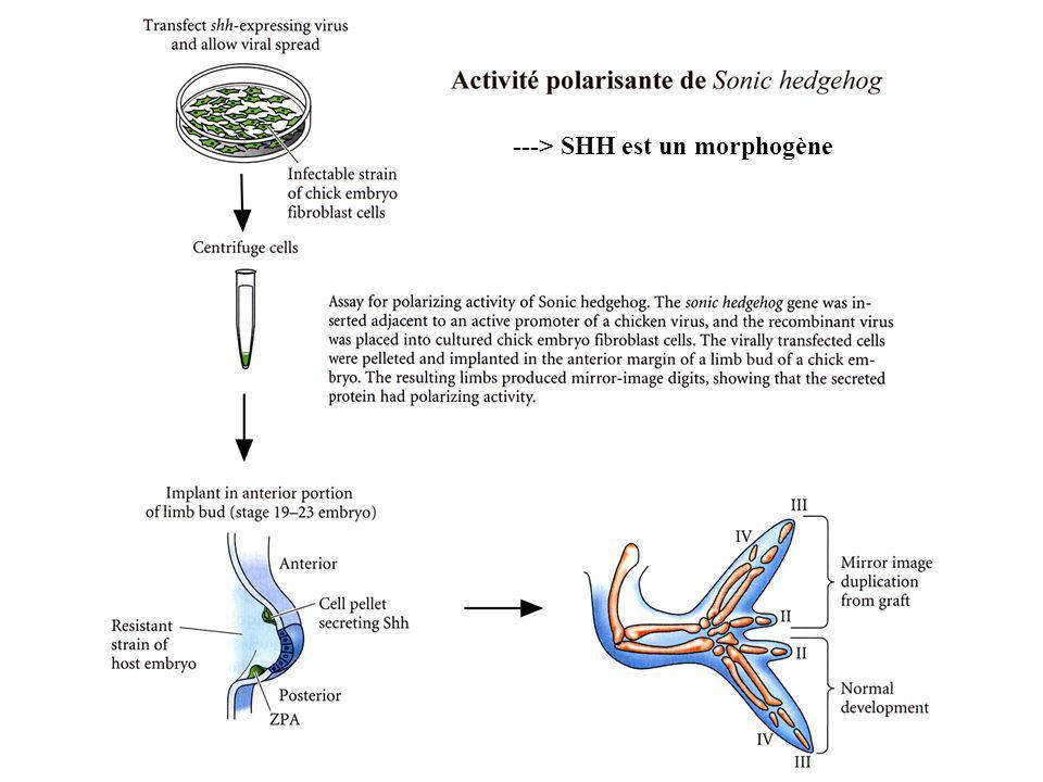 ---> SHH est un morphogène