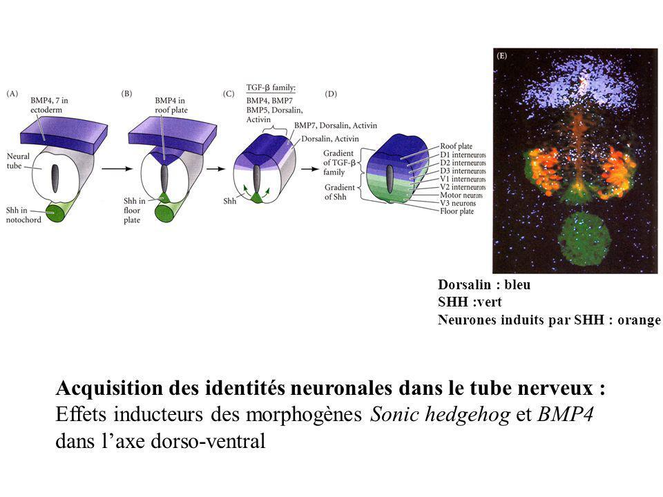Acquisition des identités neuronales dans le tube nerveux :