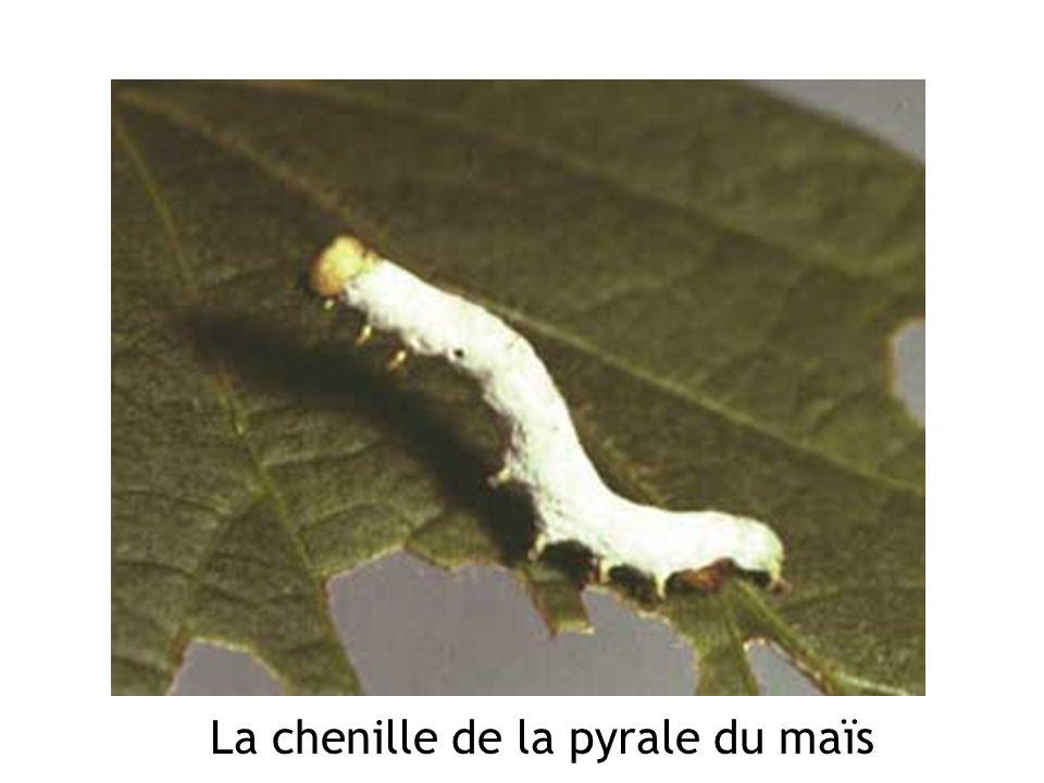 La chenille de la pyrale du maïs