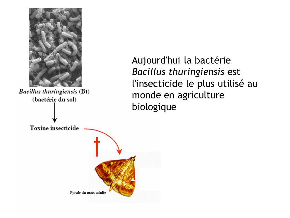 Aujourd hui la bactérie Bacillus thuringiensis est l insecticide le plus utilisé au monde en agriculture biologique