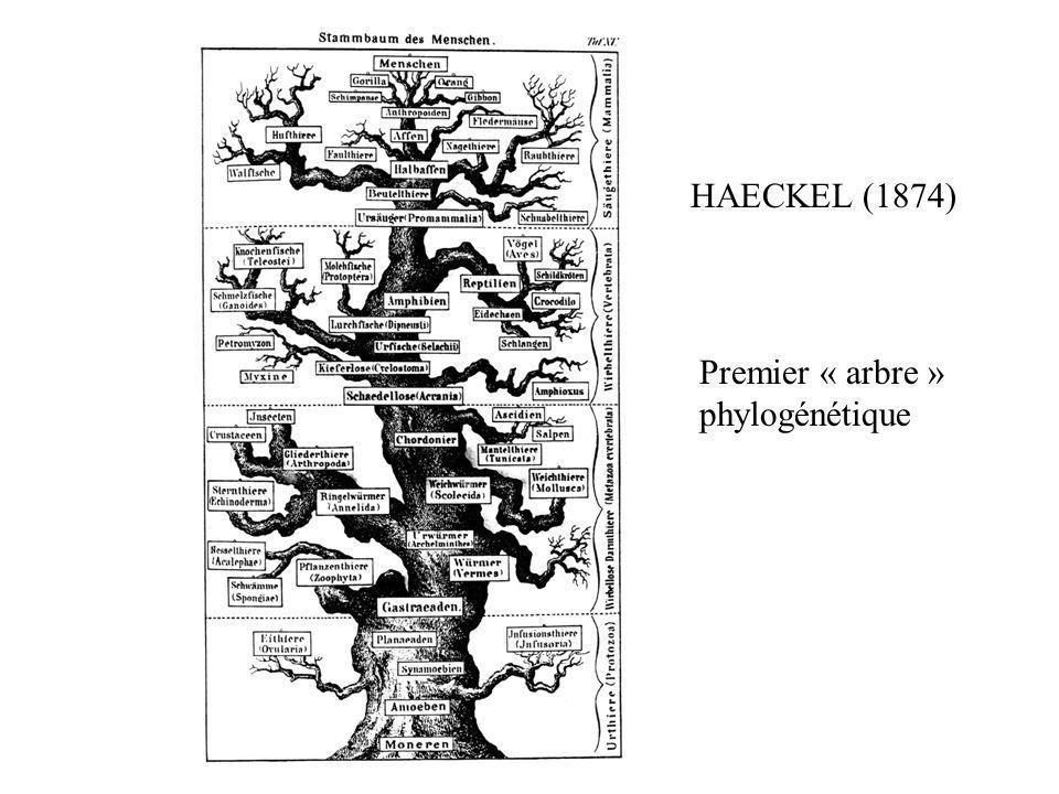 HAECKEL (1874) Premier « arbre » phylogénétique