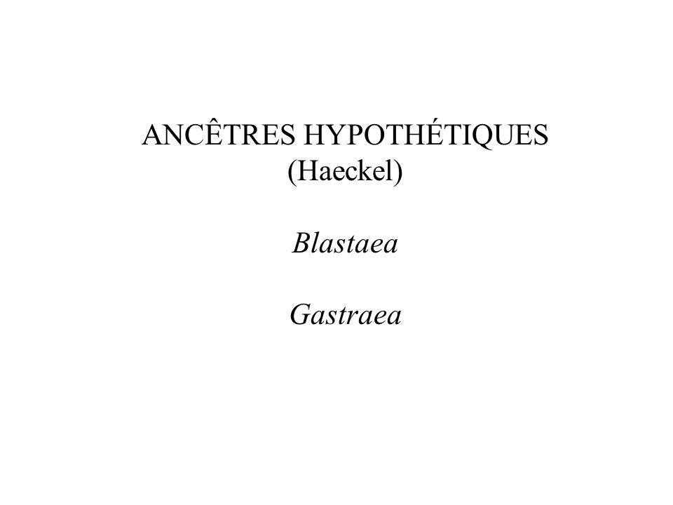 ANCÊTRES HYPOTHÉTIQUES