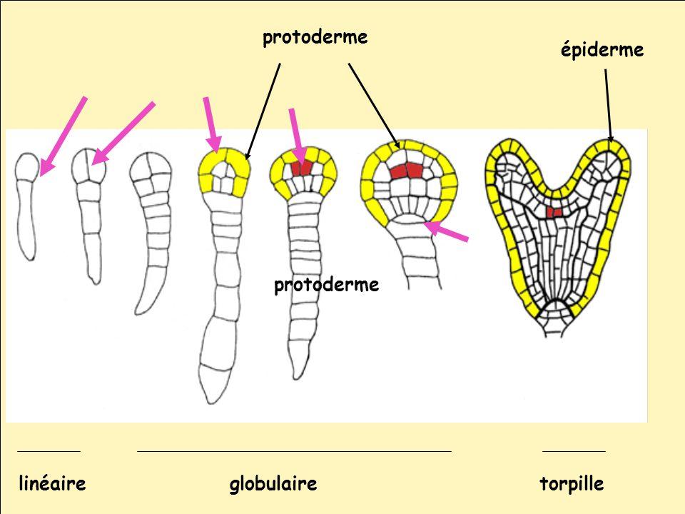 protoderme épiderme protoderme linéaire globulaire torpille