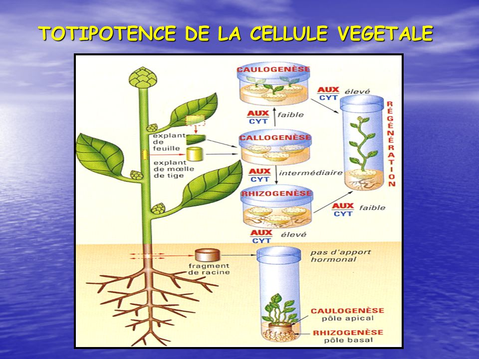 TOTIPOTENCE DE LA CELLULE VEGETALE