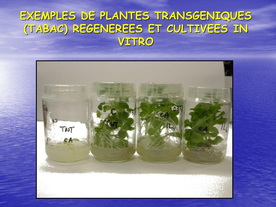 EXEMPLES DE PLANTES TRANSGENIQUES (TABAC) REGENEREES ET CULTIVEES IN VITRO