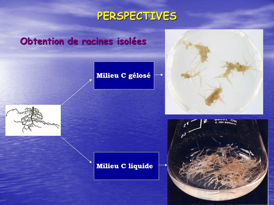 PERSPECTIVES Obtention de racines isolées Milieu C gélosé