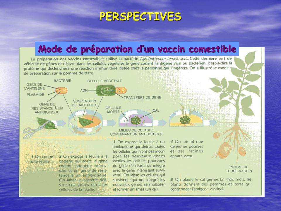 PERSPECTIVES Mode de préparation d'un vaccin comestible