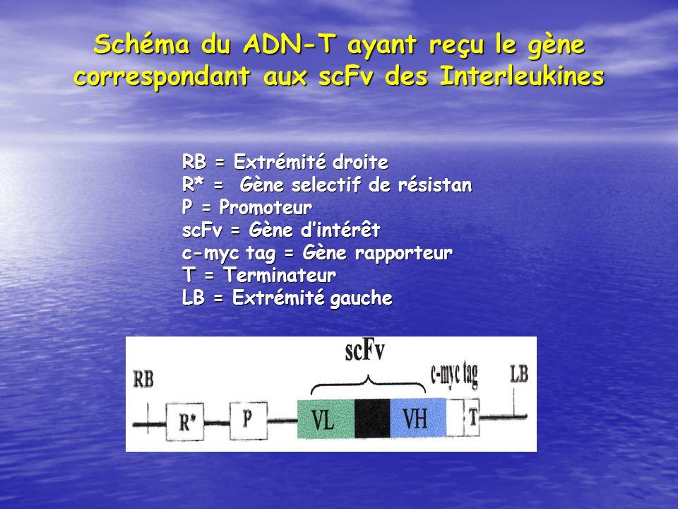 Schéma du ADN-T ayant reçu le gène correspondant aux scFv des Interleukines