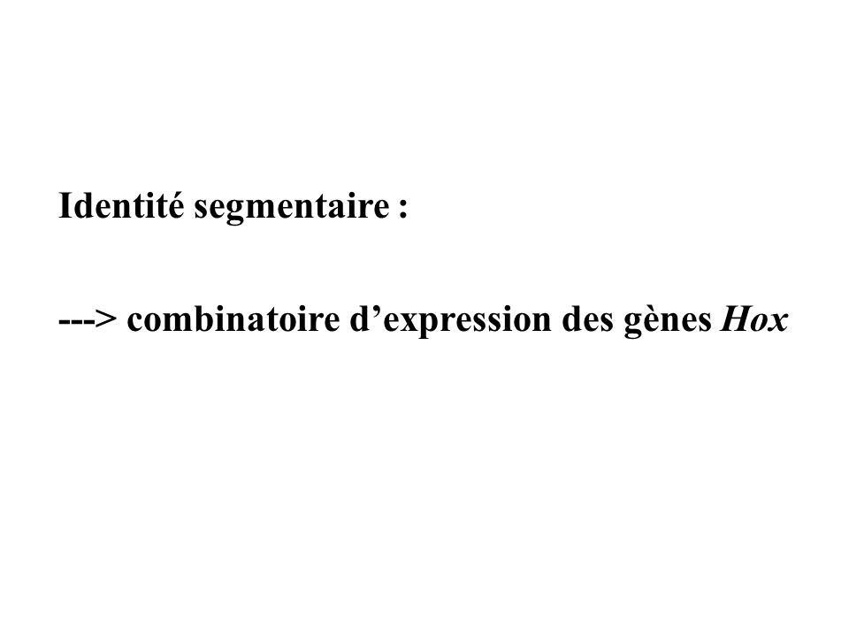 Identité segmentaire :