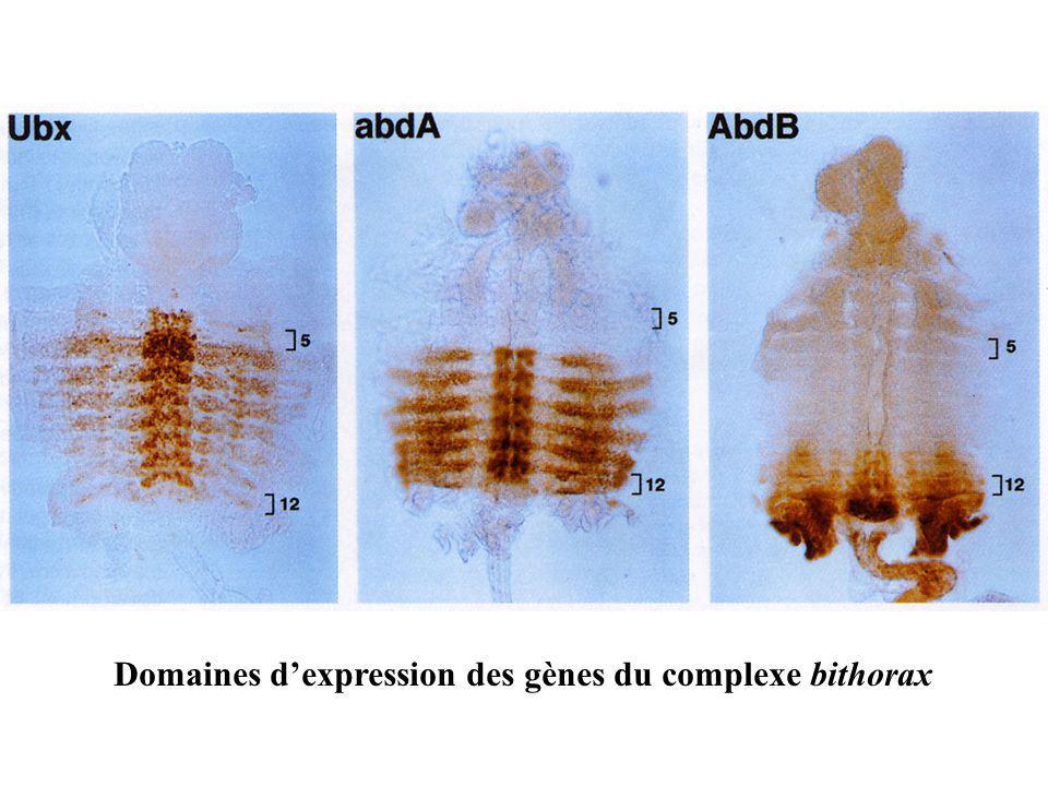 Domaines d'expression des gènes du complexe bithorax