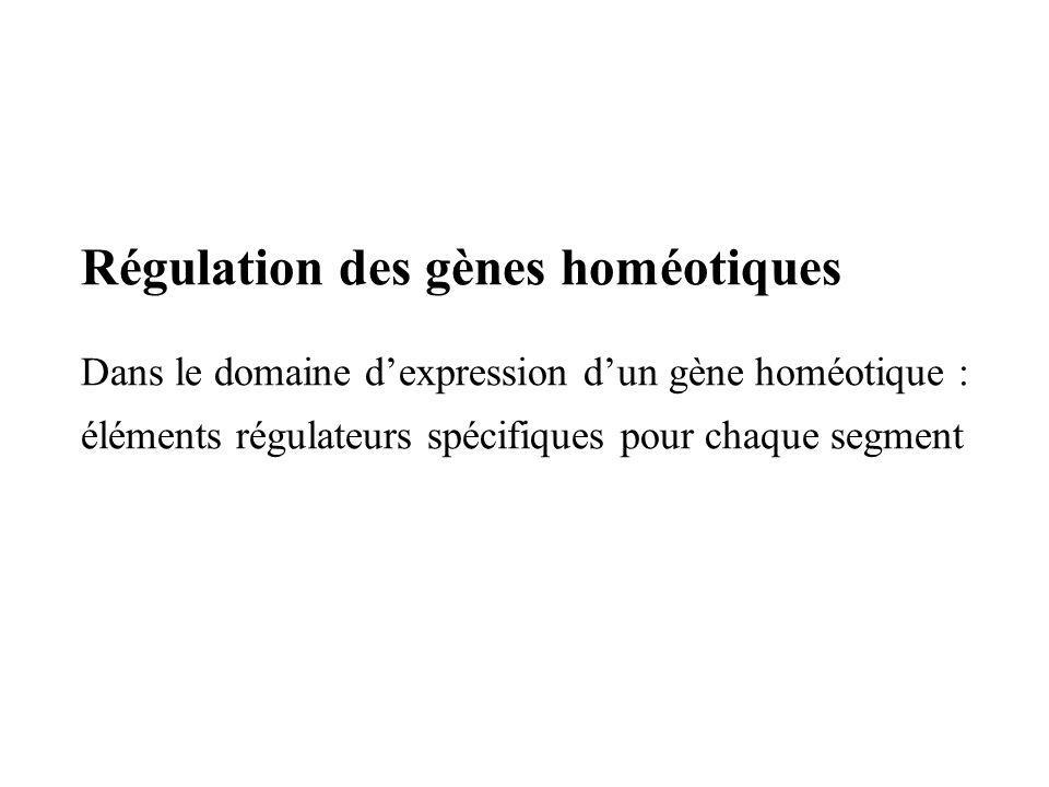 Régulation des gènes homéotiques