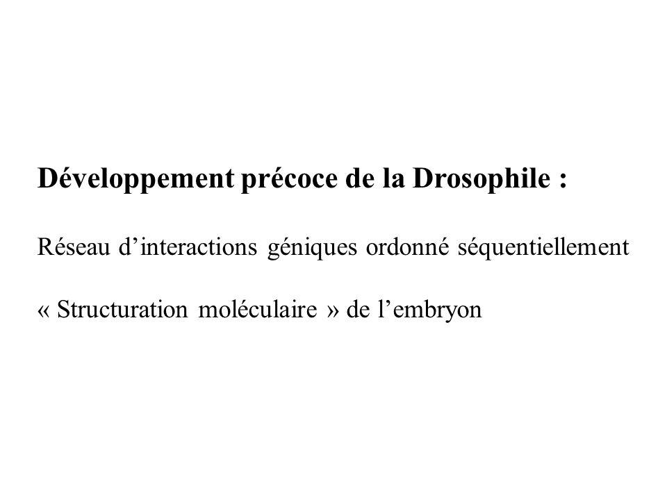 Développement précoce de la Drosophile :