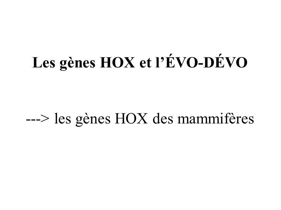 Les gènes HOX et l'ÉVO-DÉVO