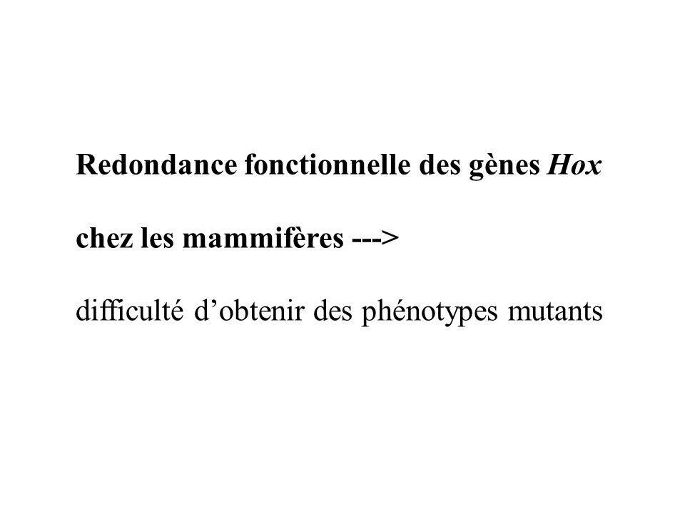Redondance fonctionnelle des gènes Hox