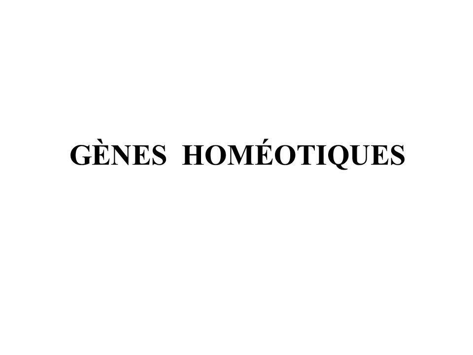 GÈNES HOMÉOTIQUES
