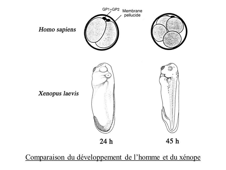 Comparaison du développement de l'homme et du xénope