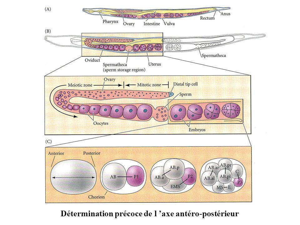 Détermination précoce de l 'axe antéro-postérieur
