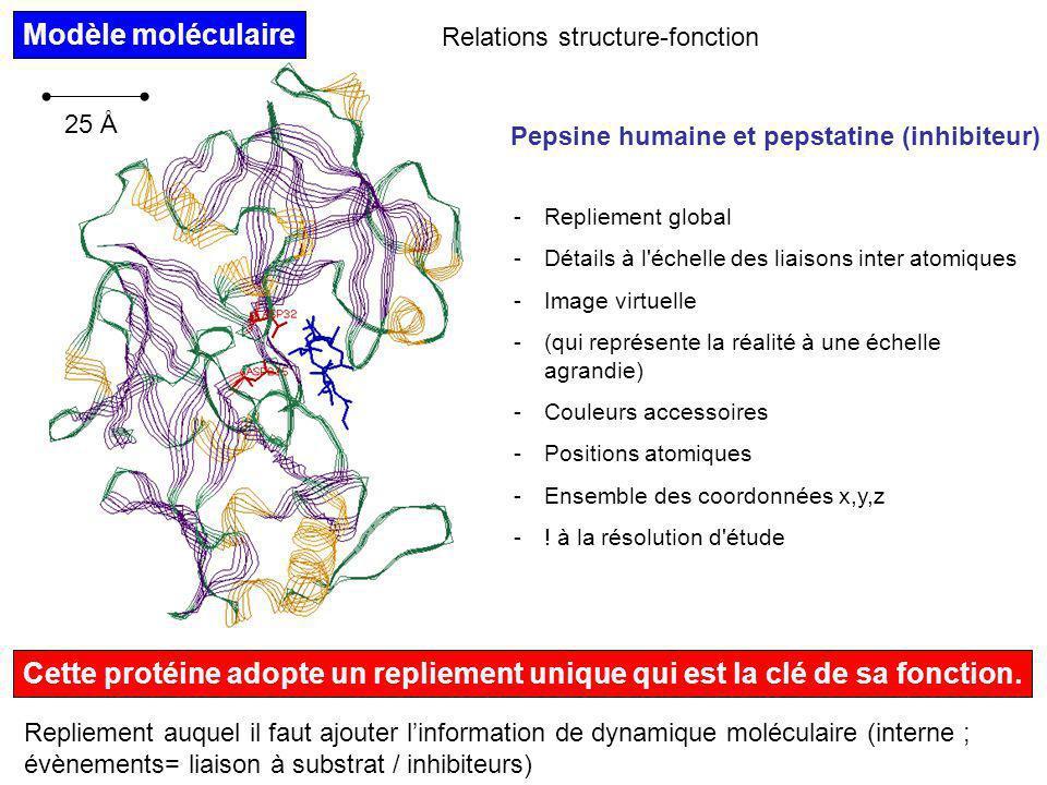 Modèle moléculaire Relations structure-fonction. 25 Å. Pepsine humaine et pepstatine (inhibiteur)