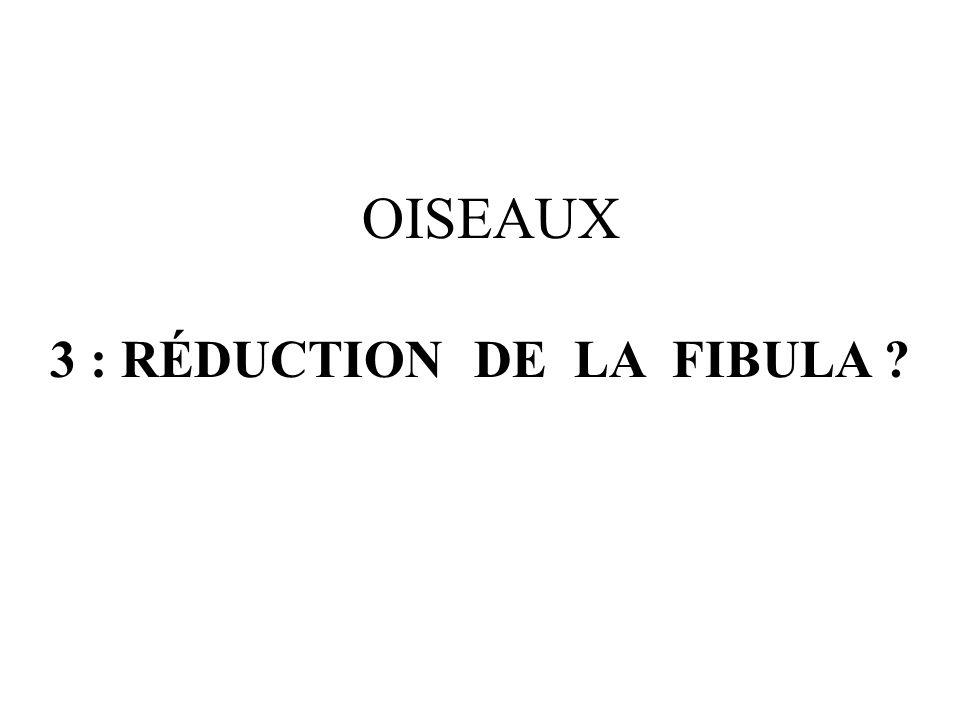 OISEAUX 3 : RÉDUCTION DE LA FIBULA