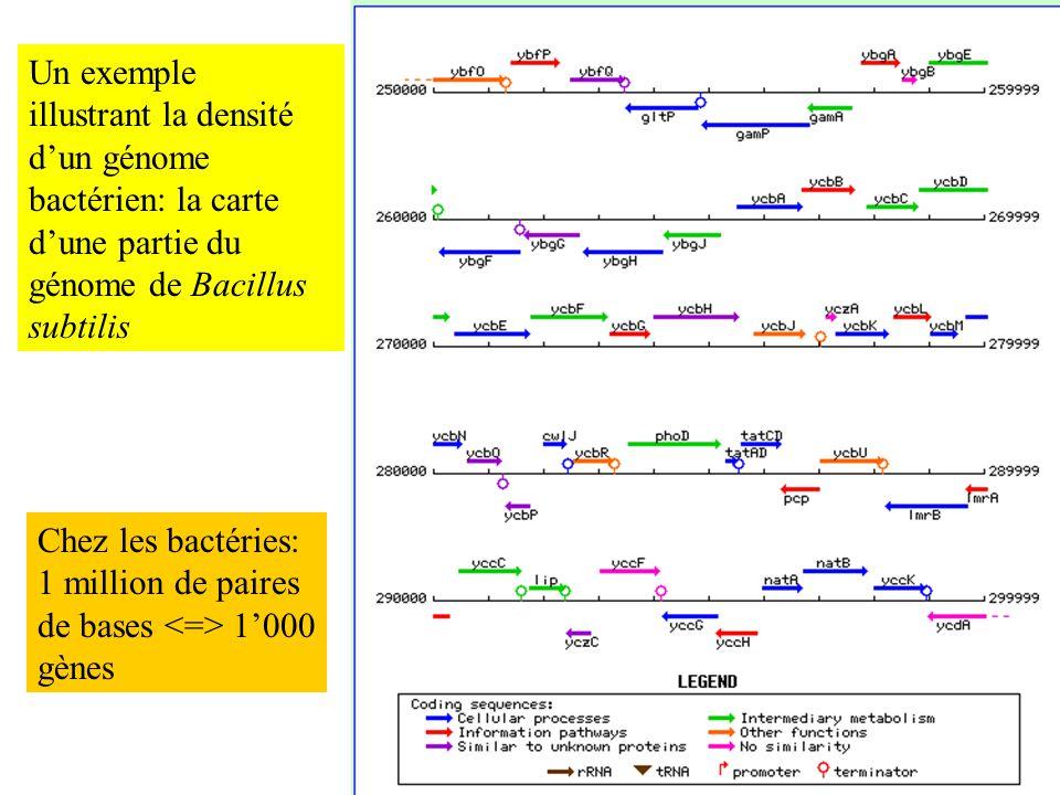 Un exemple illustrant la densité d'un génome bactérien: la carte d'une partie du génome de Bacillus subtilis