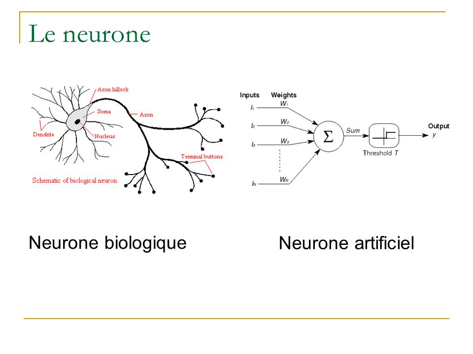 Le neurone Neurone biologique Neurone artificiel