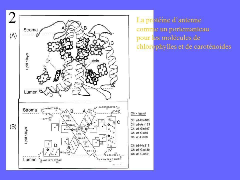 2 3 La protéine d'antenne comme un portemanteau pour les molécules de