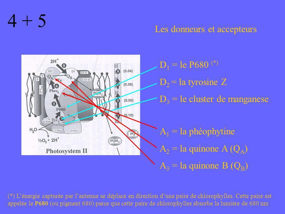 4 + 5 Les donneurs et accepteurs D1 = le P680 (*) D2 = la tyrosine Z