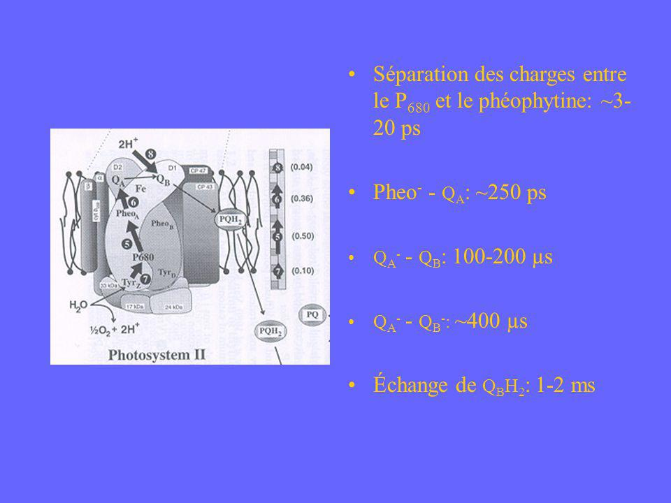 Séparation des charges entre le P680 et le phéophytine: ~3-20 ps