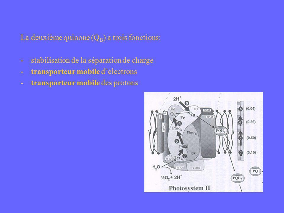 La deuxième quinone (QB) a trois fonctions: