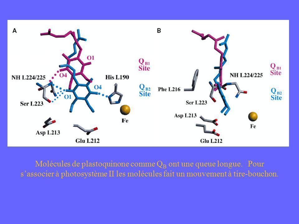Molécules de plastoquinone comme QB ont une queue longue