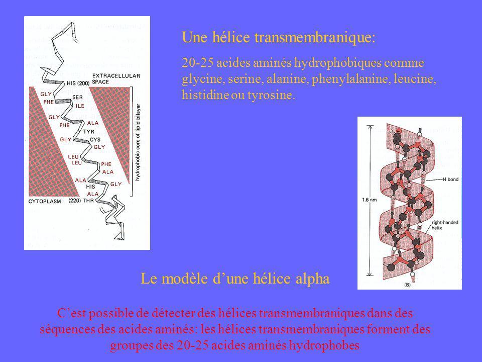 Le modèle d'une hélice alpha