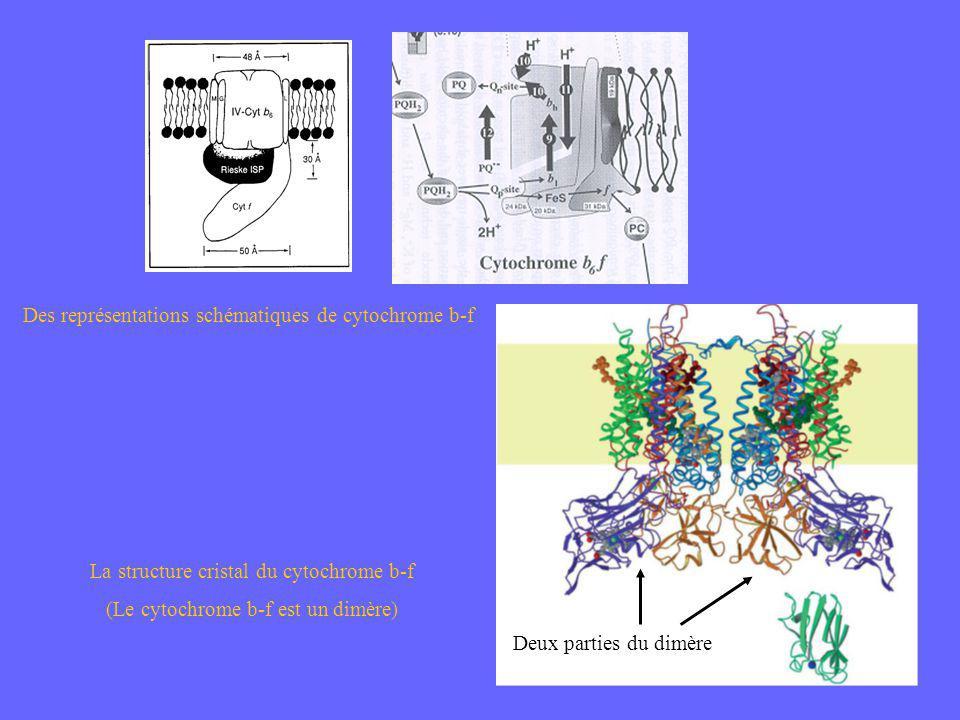 Des représentations schématiques de cytochrome b-f