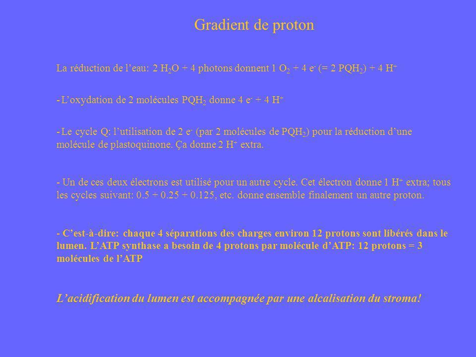 Gradient de proton La réduction de l'eau: 2 H2O + 4 photons donnent 1 O2 + 4 e- (= 2 PQH2) + 4 H+ L'oxydation de 2 molécules PQH2 donne 4 e- + 4 H+