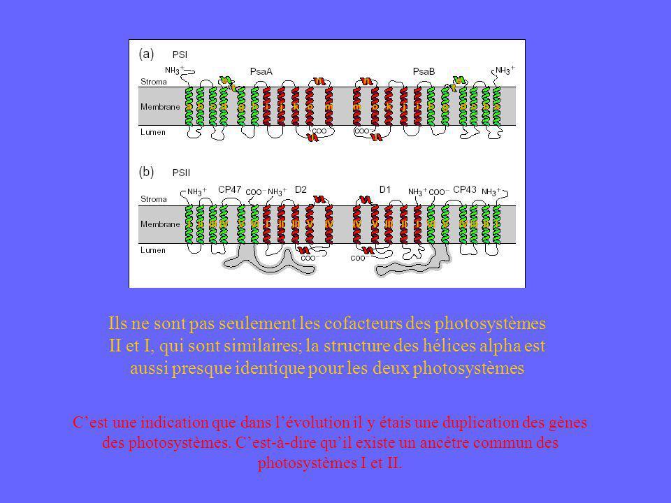 Ils ne sont pas seulement les cofacteurs des photosystèmes II et I, qui sont similaires; la structure des hélices alpha est aussi presque identique pour les deux photosystèmes