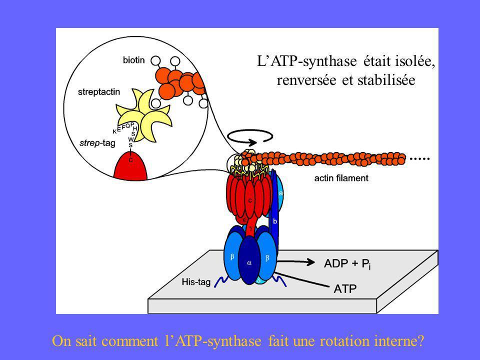 L'ATP-synthase était isolée, renversée et stabilisée