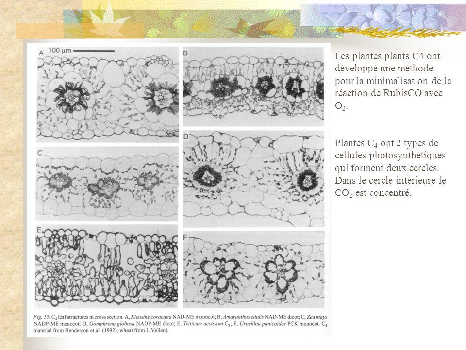 Les plantes plants C4 ont développé une méthode pour la minimalisation de la réaction de RubisCO avec O2.