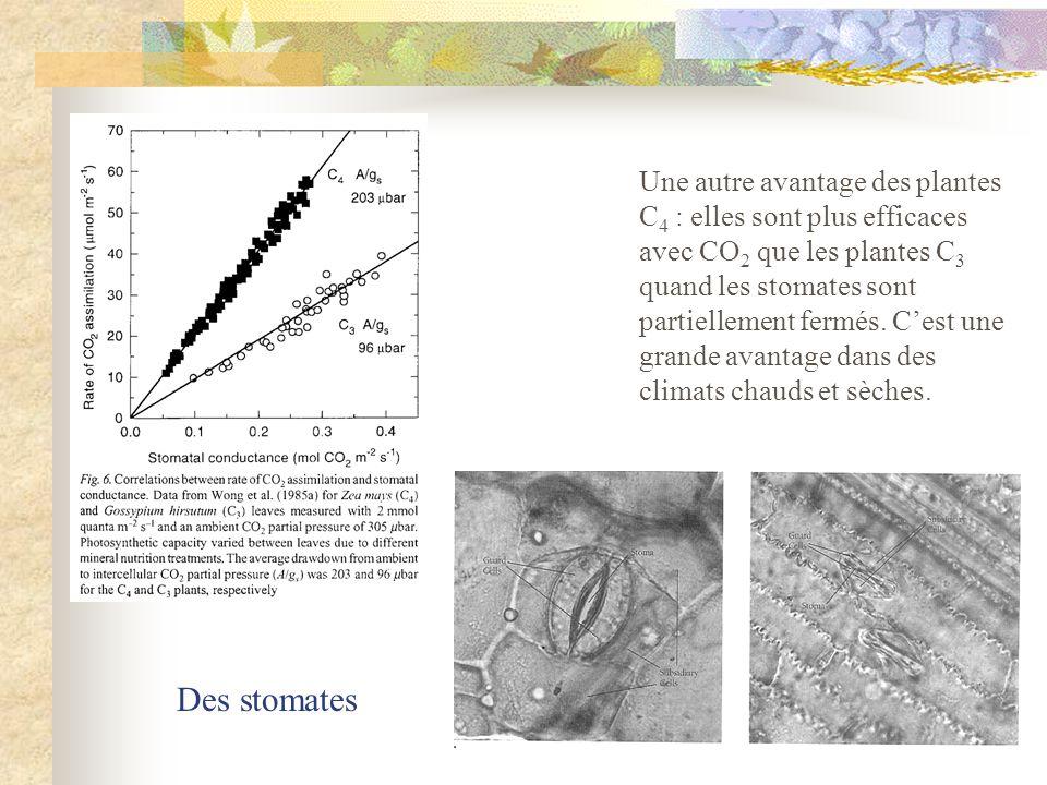 Une autre avantage des plantes C4 : elles sont plus efficaces avec CO2 que les plantes C3 quand les stomates sont partiellement fermés. C'est une grande avantage dans des climats chauds et sèches.