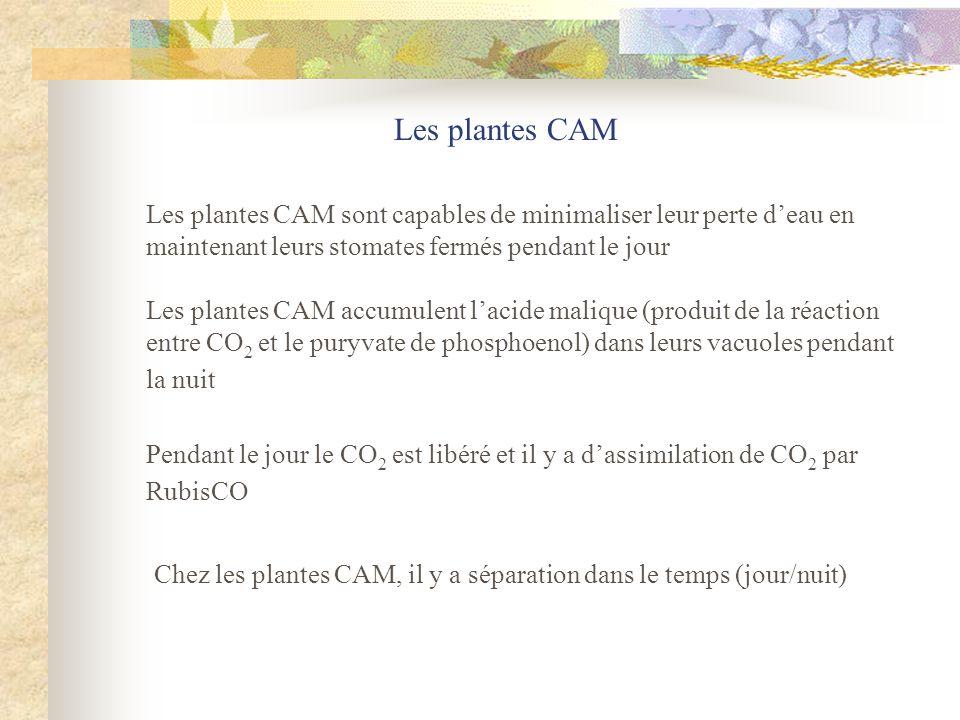 Les plantes CAM Les plantes CAM sont capables de minimaliser leur perte d'eau en maintenant leurs stomates fermés pendant le jour.