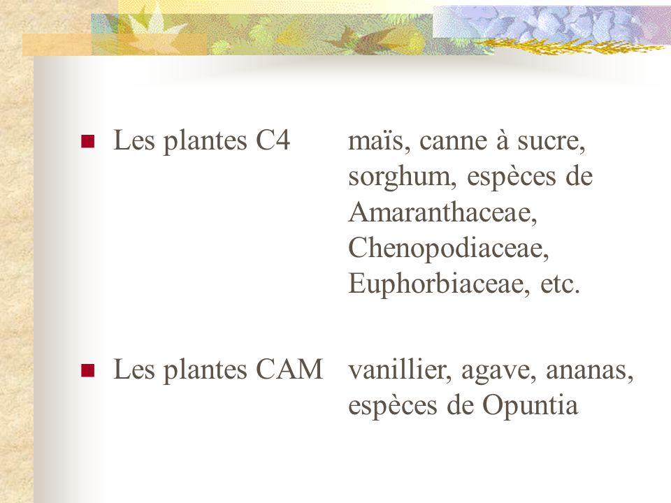 Les plantes C4. maïs, canne à sucre,. sorghum, espèces de