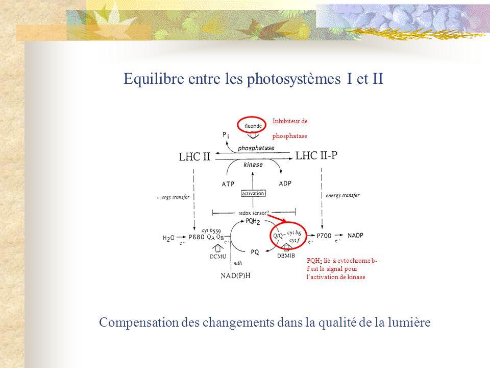 Equilibre entre les photosystèmes I et II